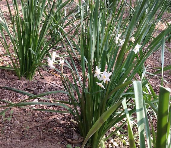 Narcissus Club 1.18
