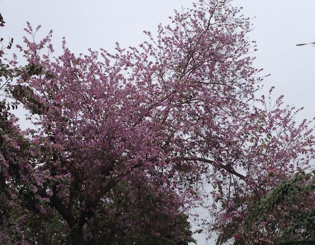 Bauhinia purpurea1
