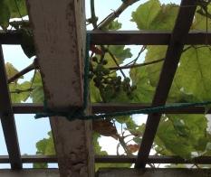 Grapes 1 5.18