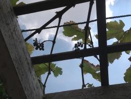 Grapes 2 5.18
