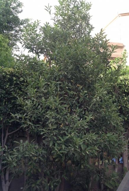 Kumquat tree 5.18