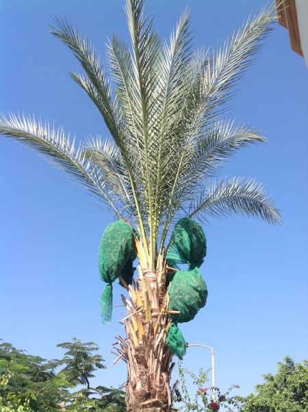 Date palm after wrapping 7.18