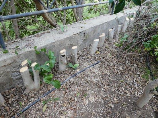 Ficus stumps