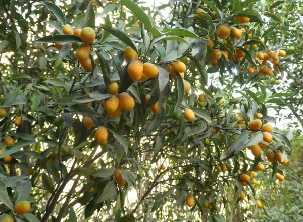 Kumquats lower level on tree 11.18