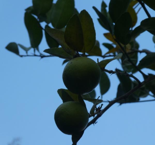 Limes - older tree